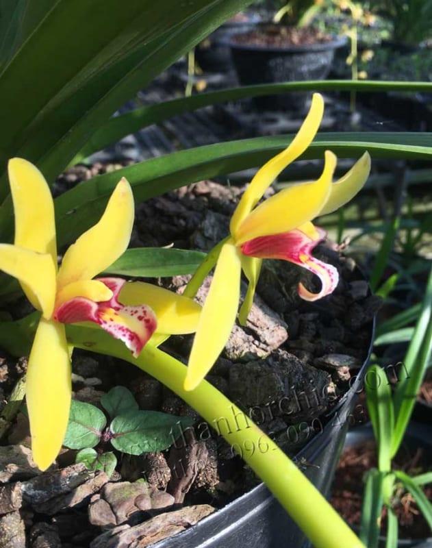 hình ảnh hoa lan kiếm vị hoàng 11